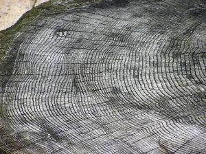 640px-Tree.ring.arp